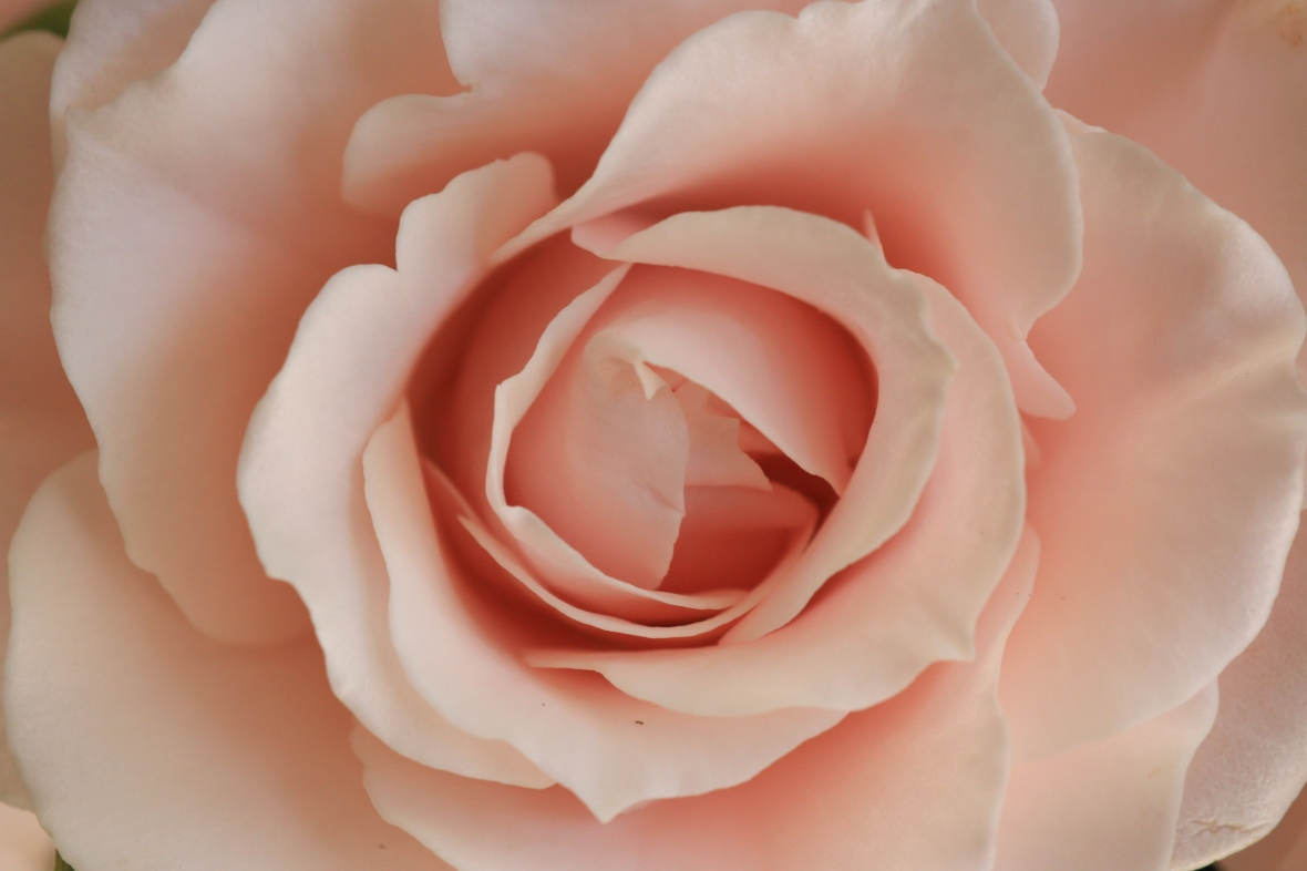 Subtle Pink Mini Rose (Macro) 2