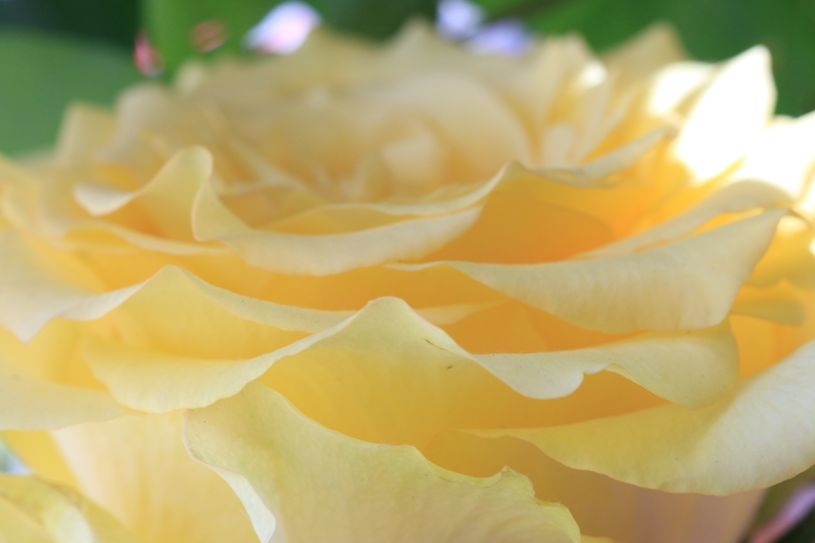 Golden Yellow Garden Rose Macro