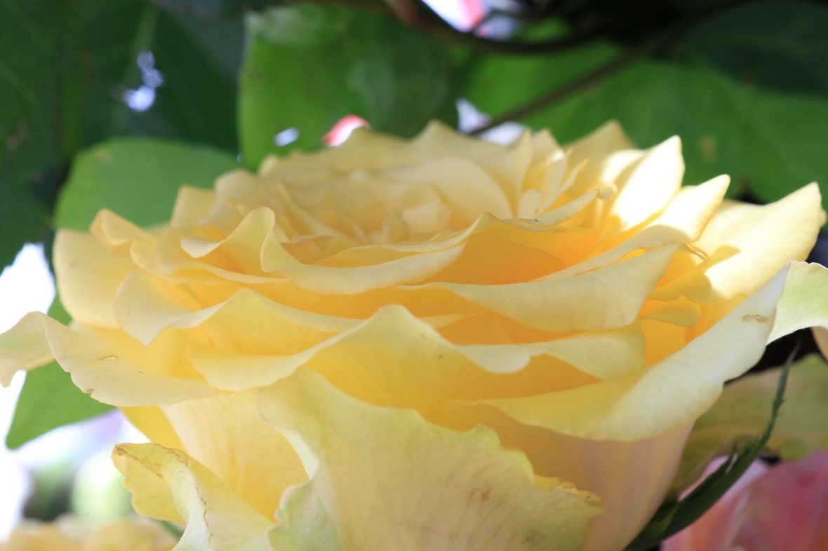 Golden Yellow Garden Rose IV