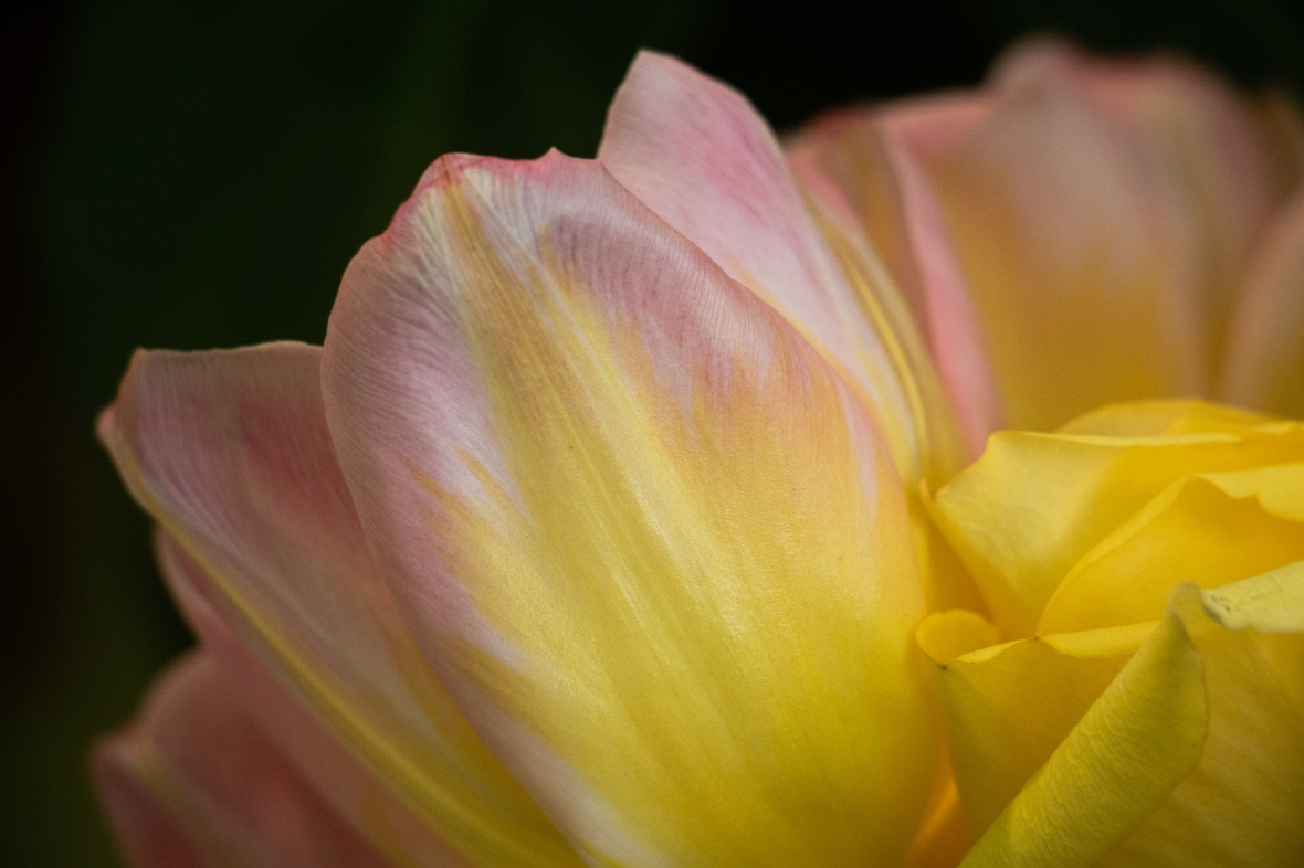 Soft Pink & Yellow Tulips