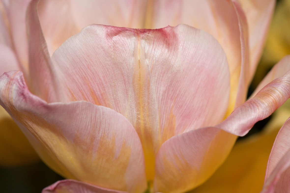 Subtle Pink & Yellow Tulips Super Close Up