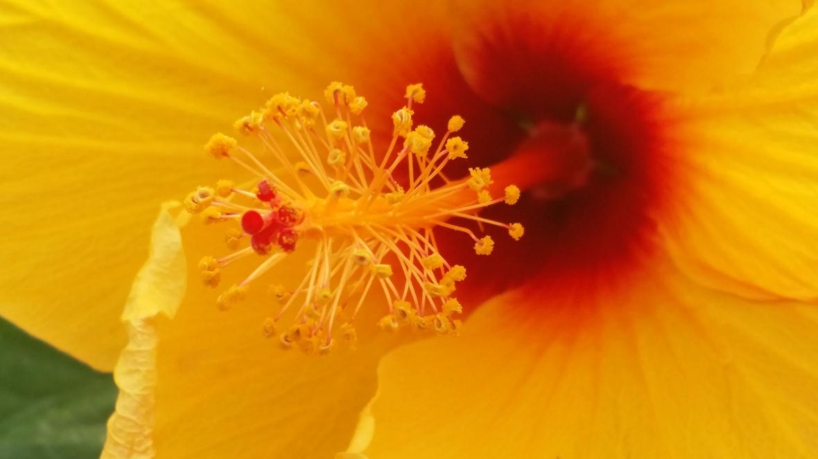 Yellow Hibiscus Macro