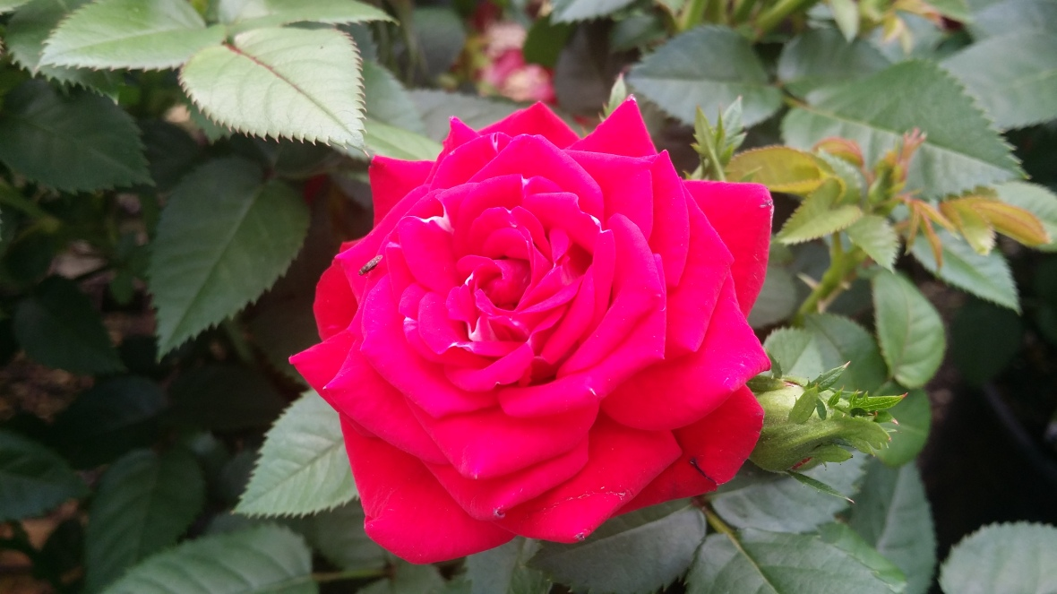 High Red Rose