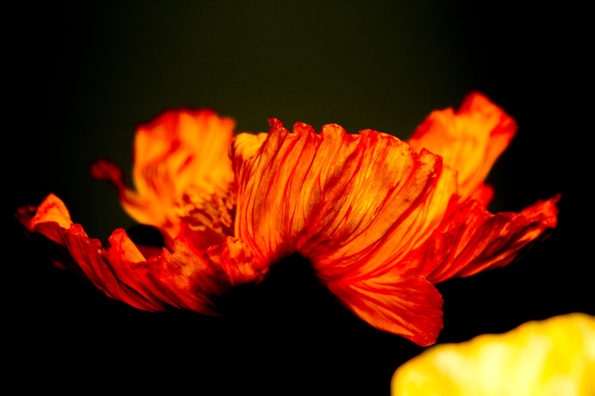 An Orange Poppy Flower