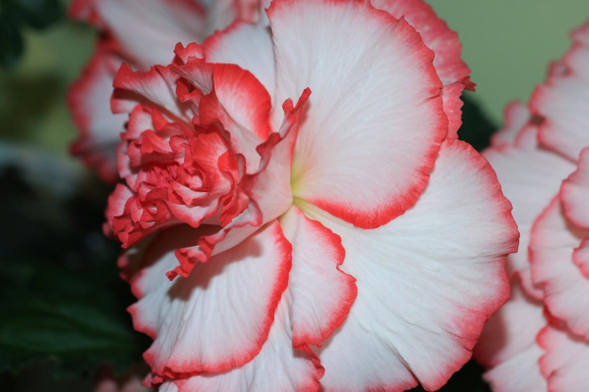 """The """"Picotee"""" White & Pink Begonias"""