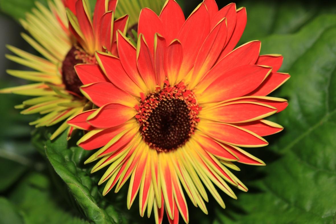 Orange Gerbera Daisy: Center Flame