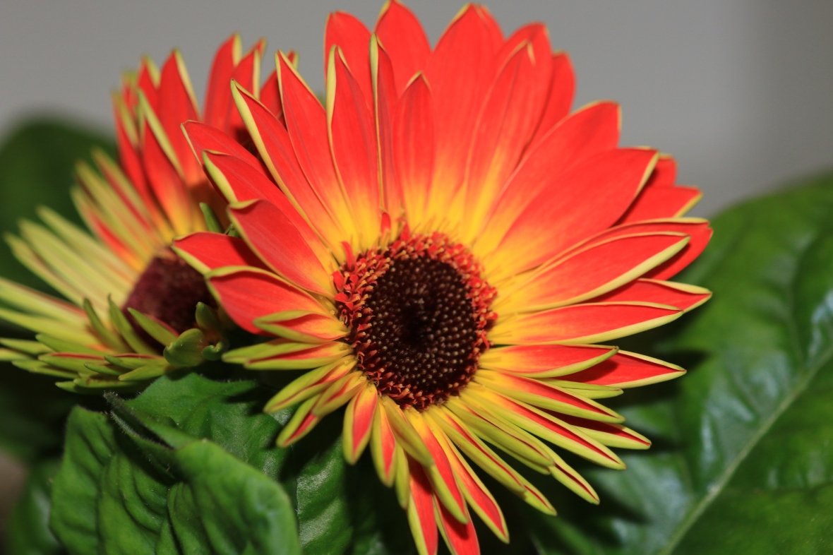 Young Gerbera Daisy: Sitting on a Hill