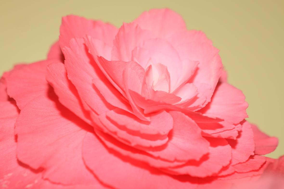 "The ""Non Stop Pink"" Begonias Satellite Dish View II"