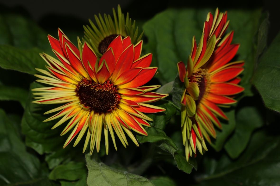 Young Gerbera Daisy: Orange