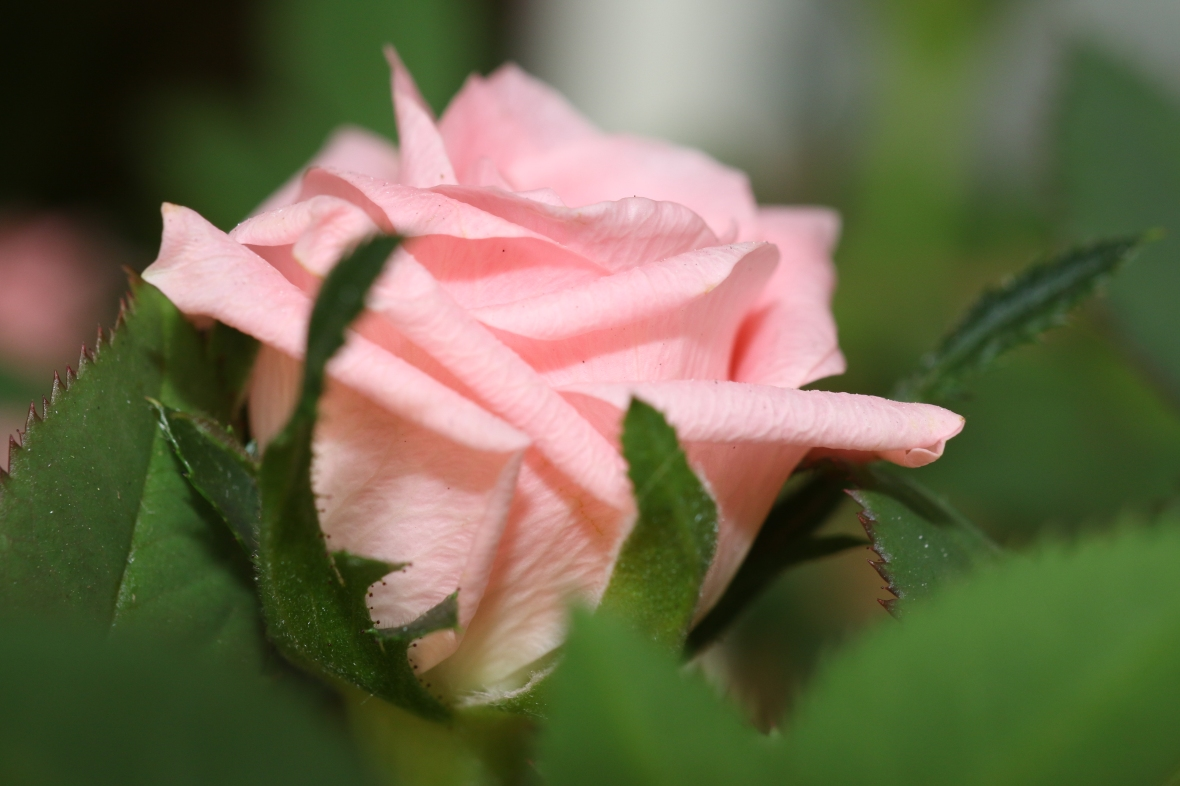 "The mini pink rose ""deuce"" macro"