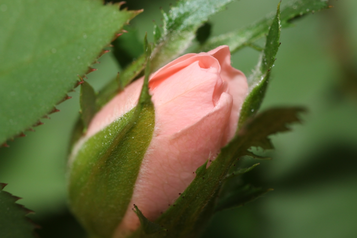 The Mini Pink Rose Bud (Macro)