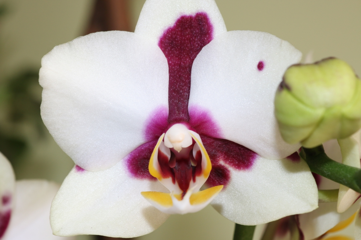 White & Purple Throat Phalaenopsis Orchid