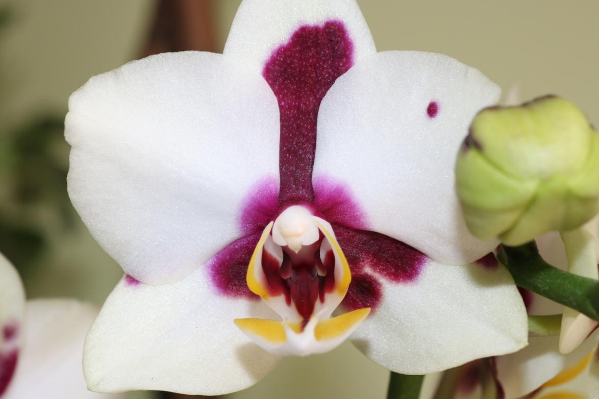 White & Purple Throat Phalaenopsis Orchid