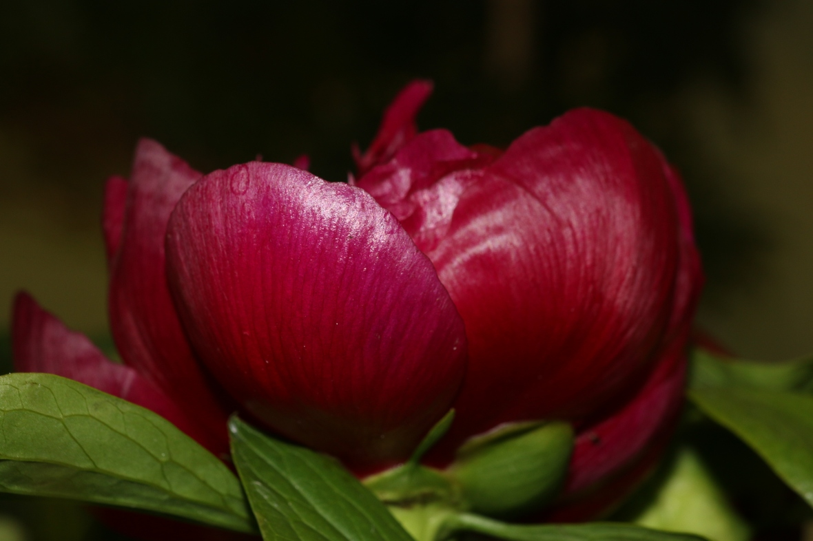Red Peony Opening