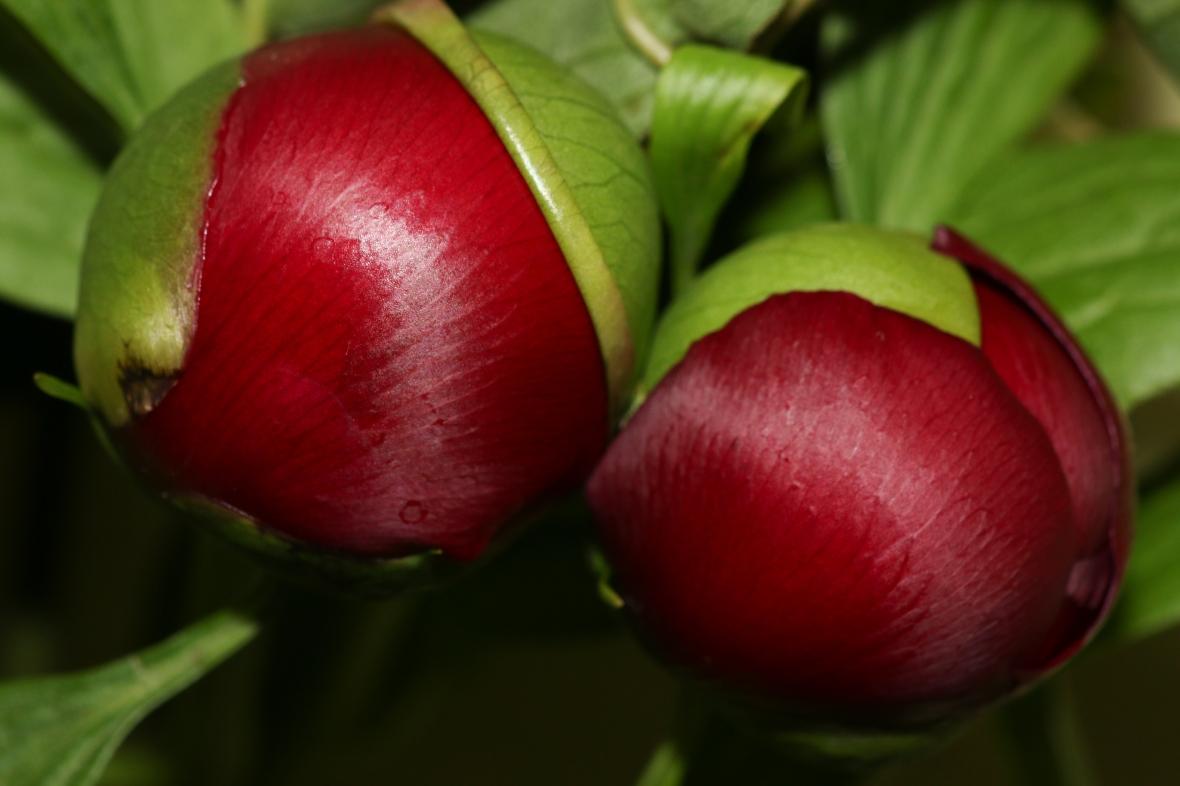 Red Peony Bulbs Macro 2