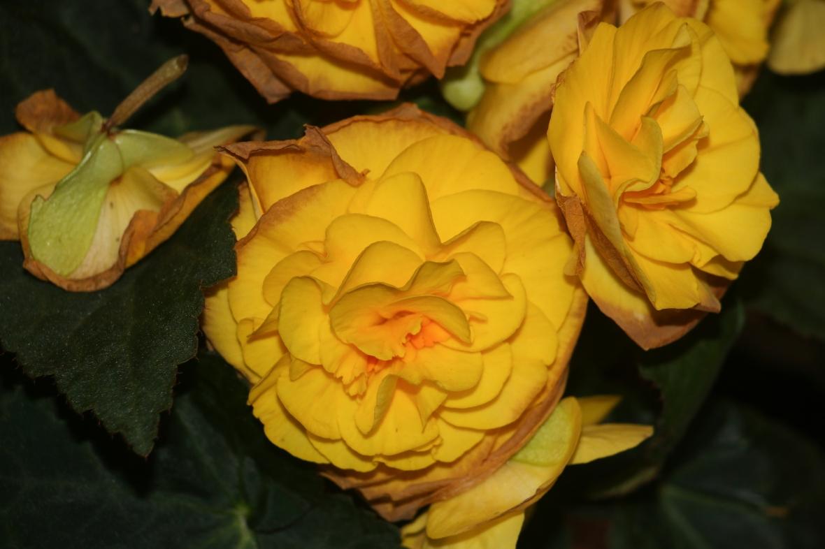 """Decaying Begonias """"Golden Yellow"""""""
