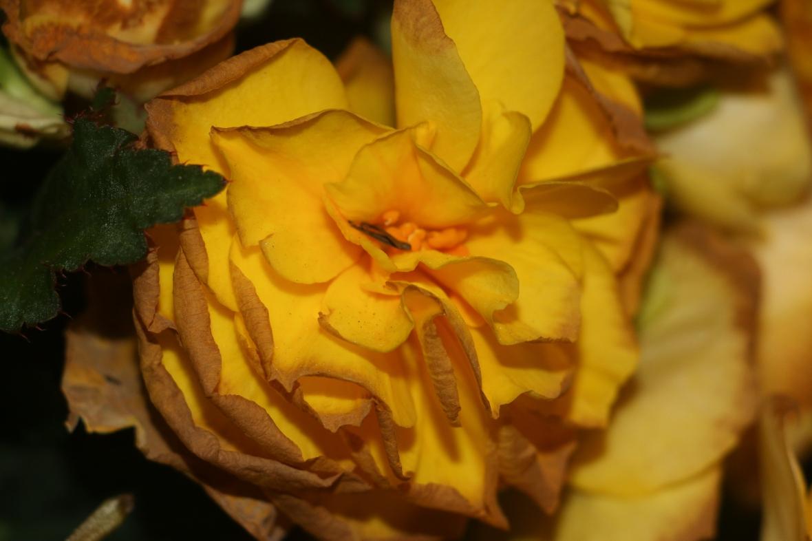 """Decaying Begonias """"Golden Yellow"""" 2"""