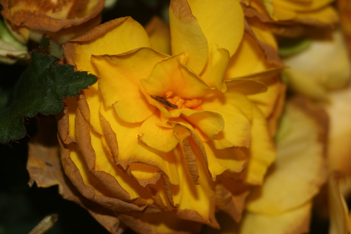 "Decaying Begonias ""Golden Yellow"" 2"