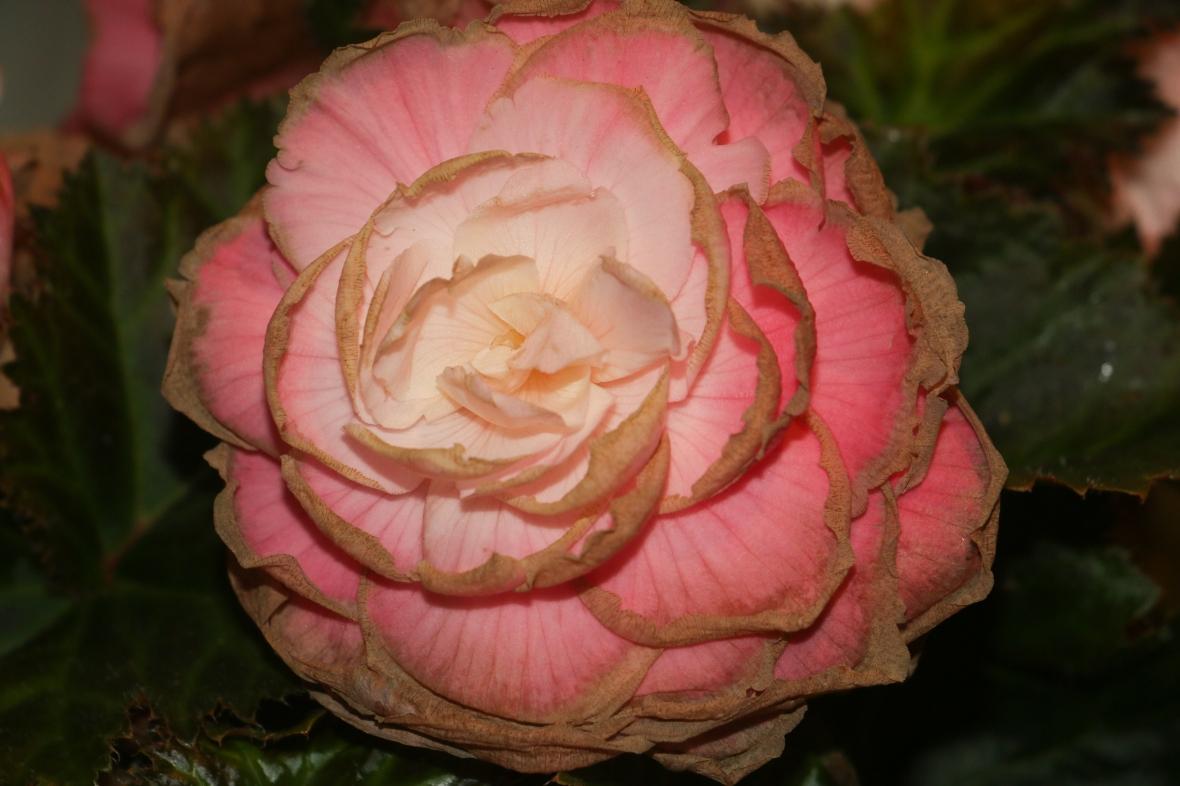 """Decaying Flowers """"Pink Begonias"""""""