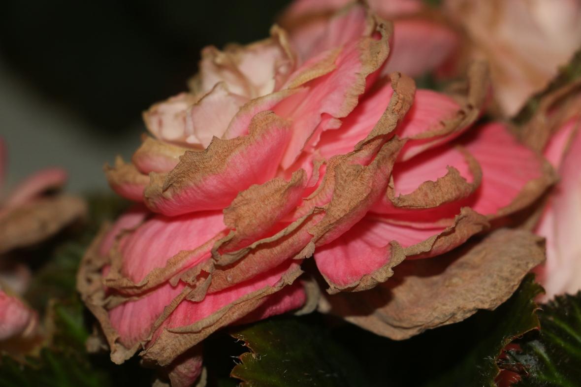 """Decaying Flowers """"Pink Begonias"""" 2"""