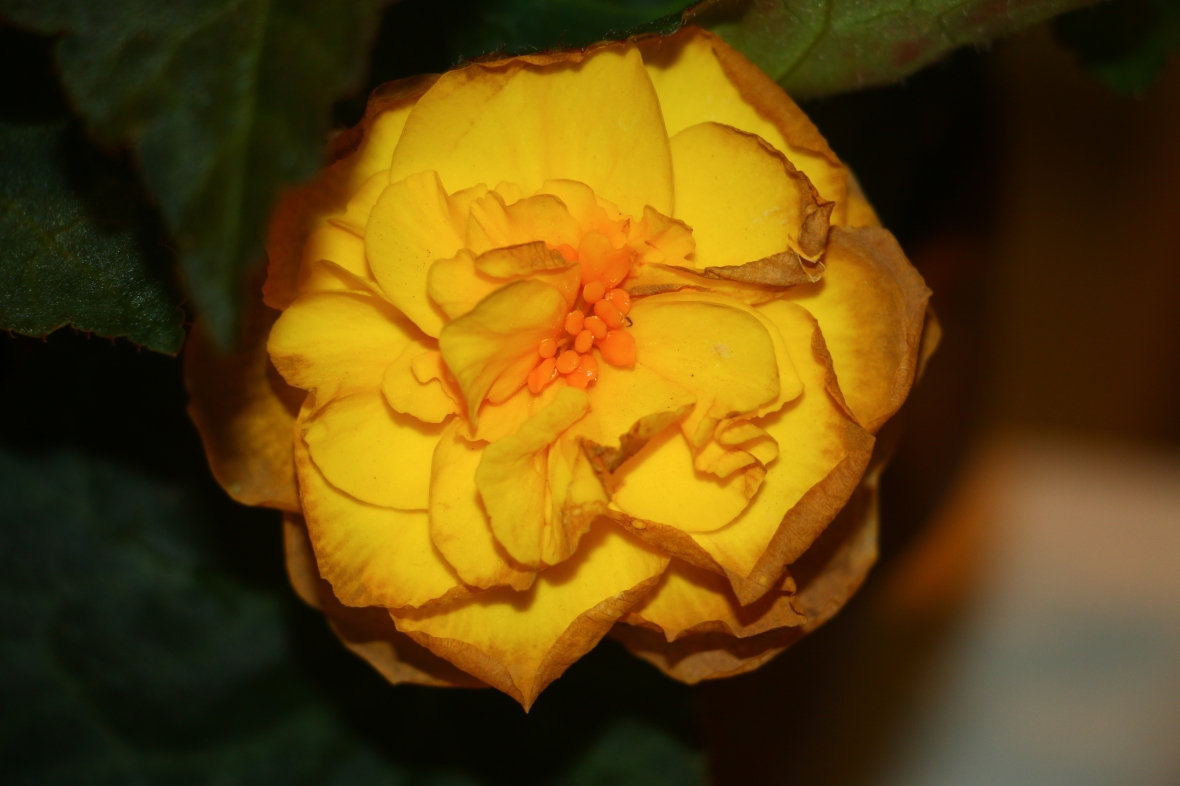 "Decaying Begonias ""Golden Yellow"" Close Up"