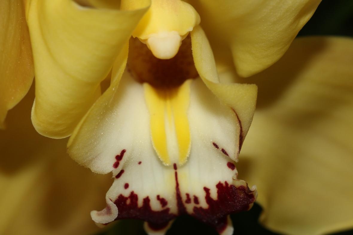 Yellow Cymbidium Macro