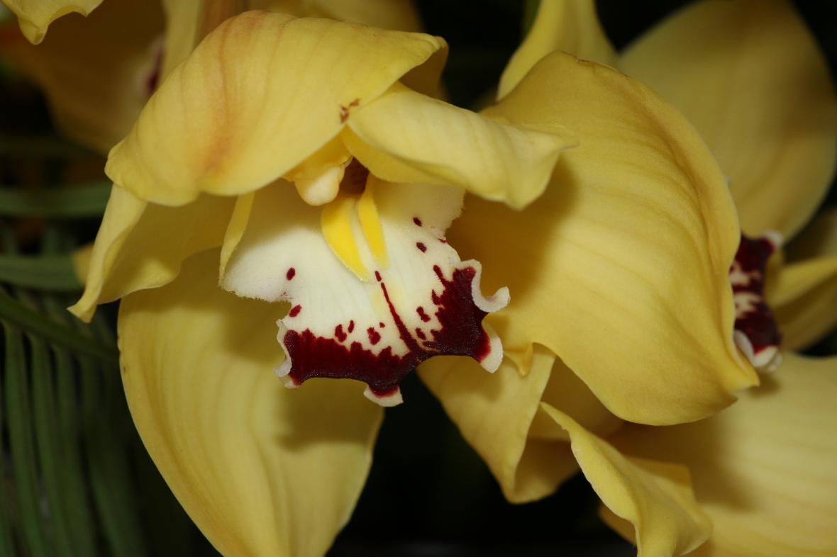 "Yellow Cymbidium Macro ""Deuce"""