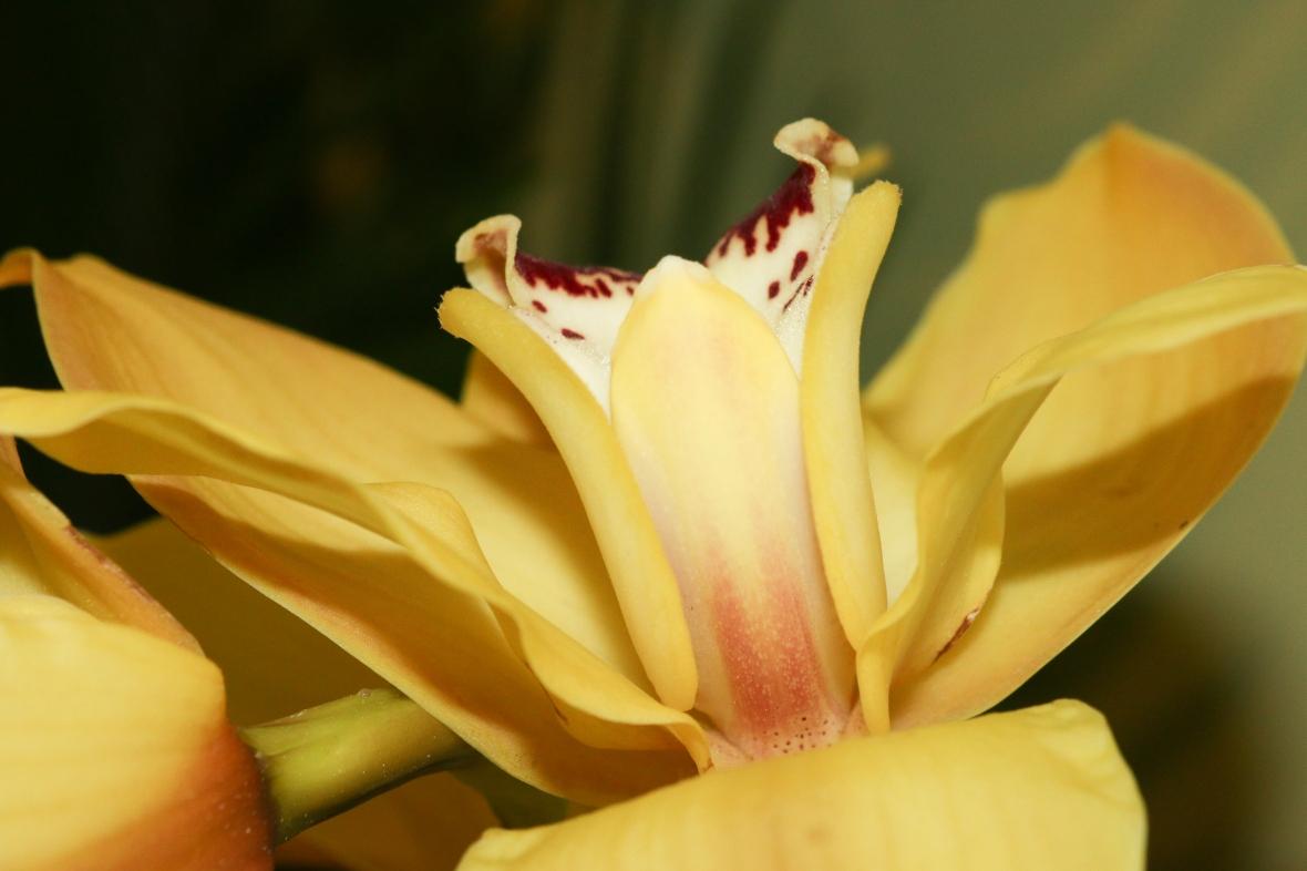 Golden Yellow Cymbidium Phoenix Pose