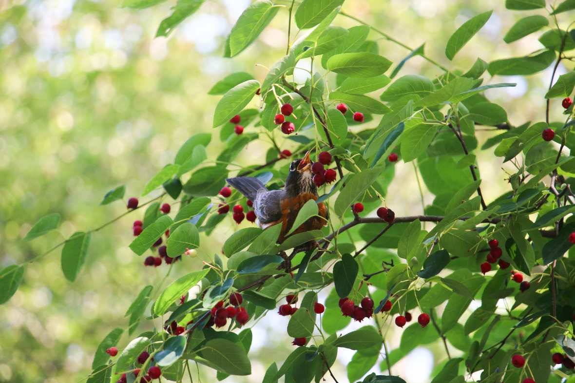 Nature In Gotham Series: Spring 2016: Bird & Berries