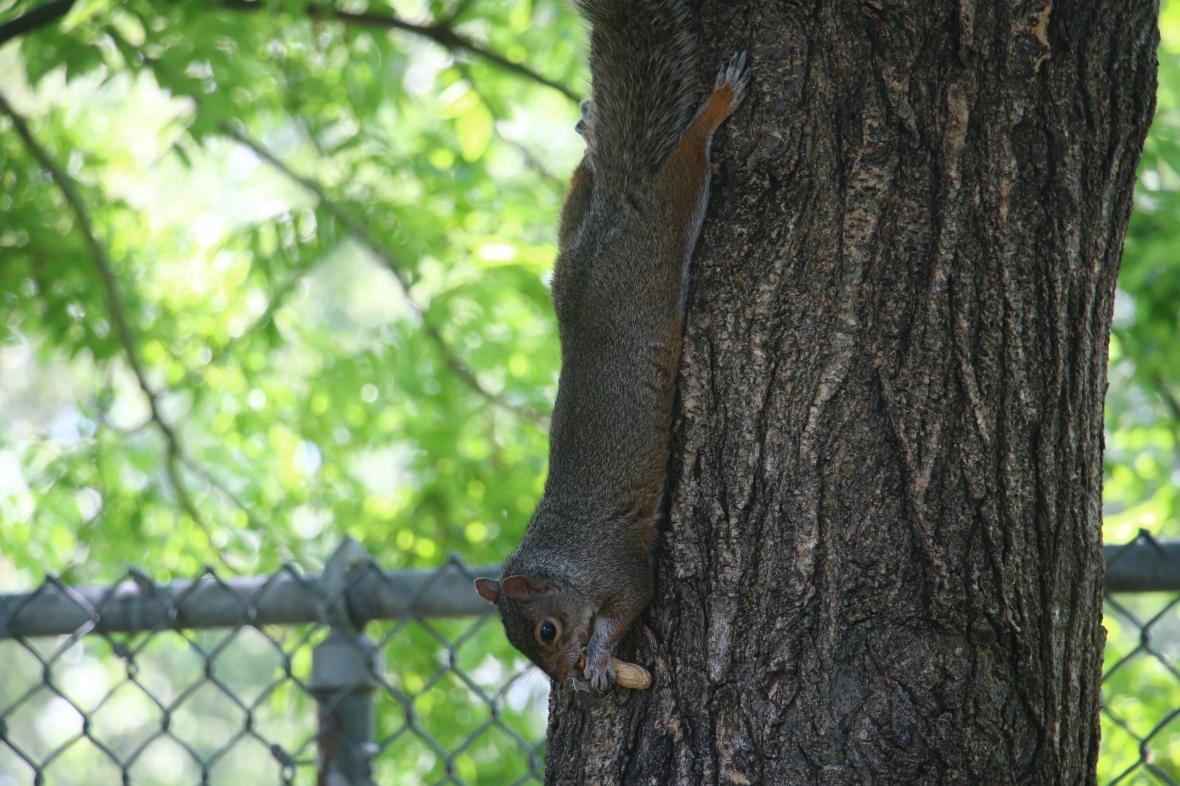 Gotham Nature Portrait Series: The Squirrel III