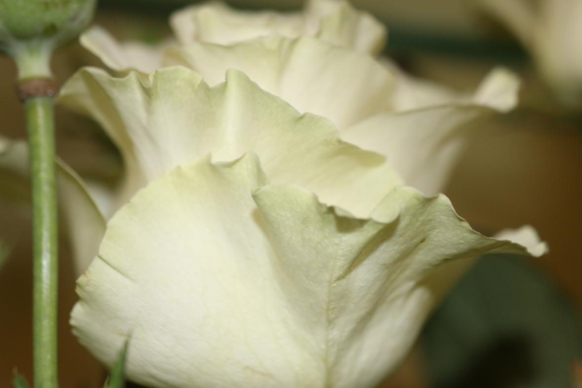 Pale Green & White Rose