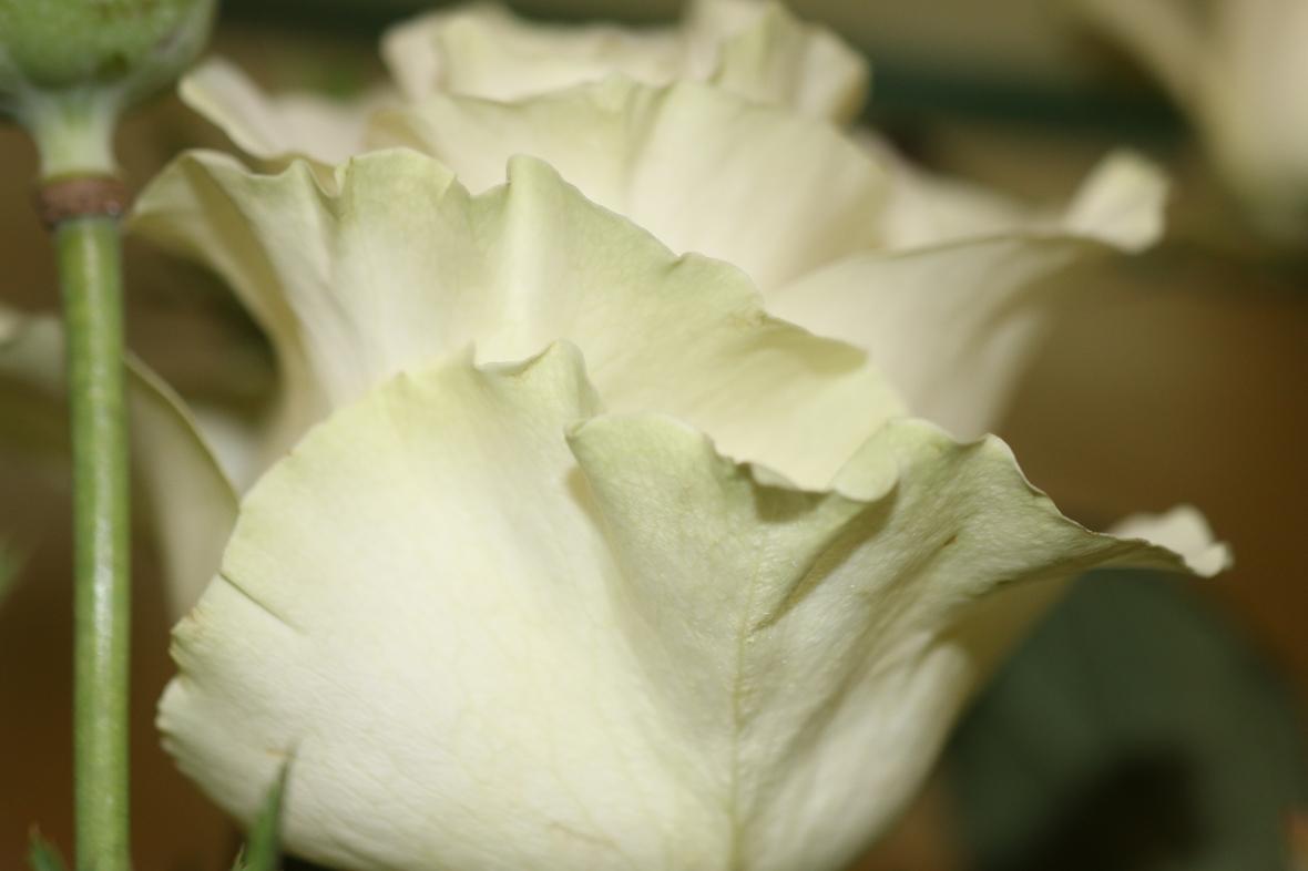 Pale Green & White Rose