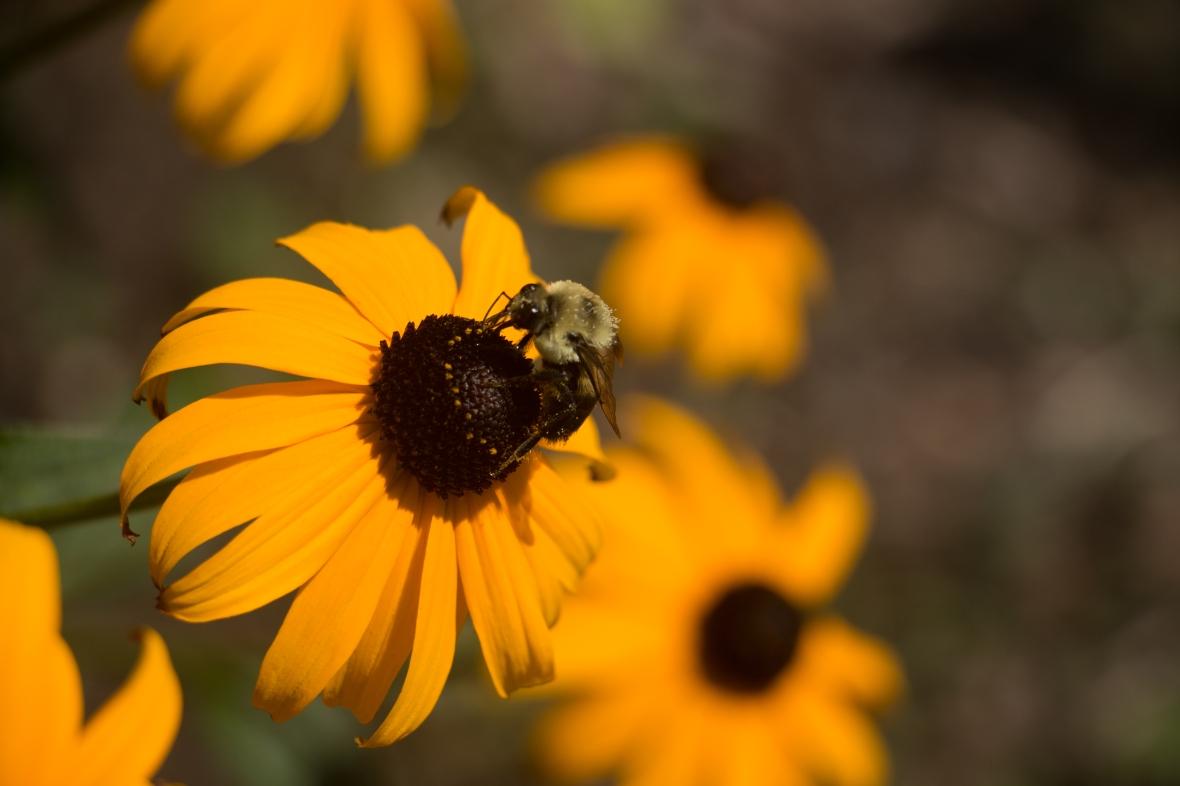 Bumble Bee & SunFlowers The 3rd II