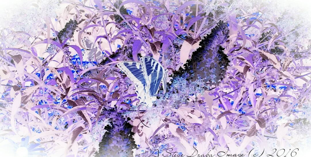 Chasing Butterflies Purpled Haze Negative
