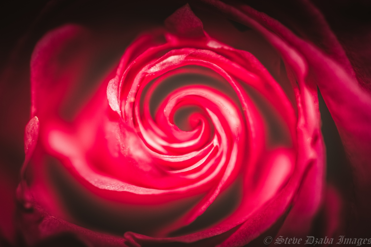 A Rose Called Hypnosis-3