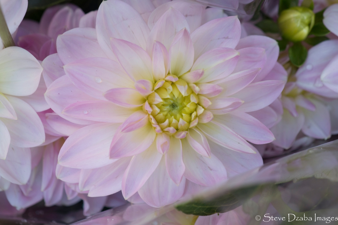 Subtle Soft Light Pink Dahlia Macro