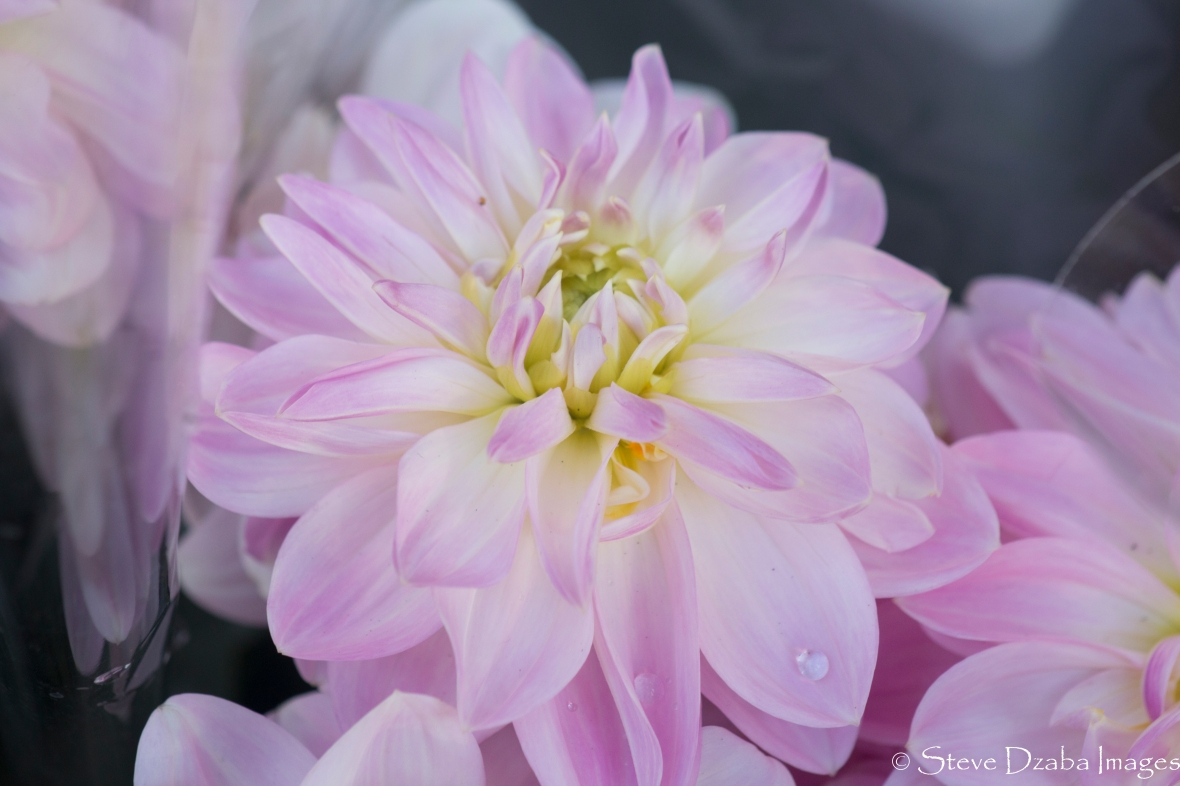 Subtle Soft Light Pink Dahlias II