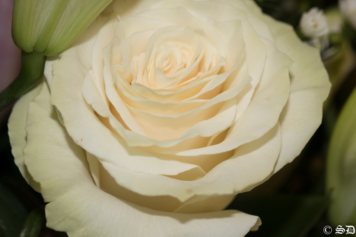 "The Grand White Rose ""Tres Piece"""