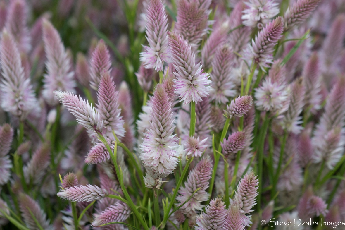 Light Pink Celosia Group