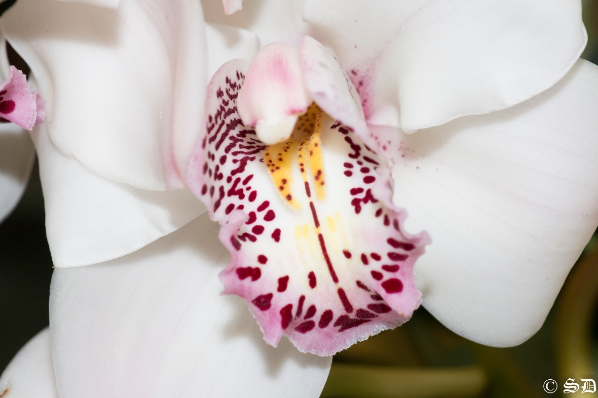 Pink Throated White Cymbidium Orchid