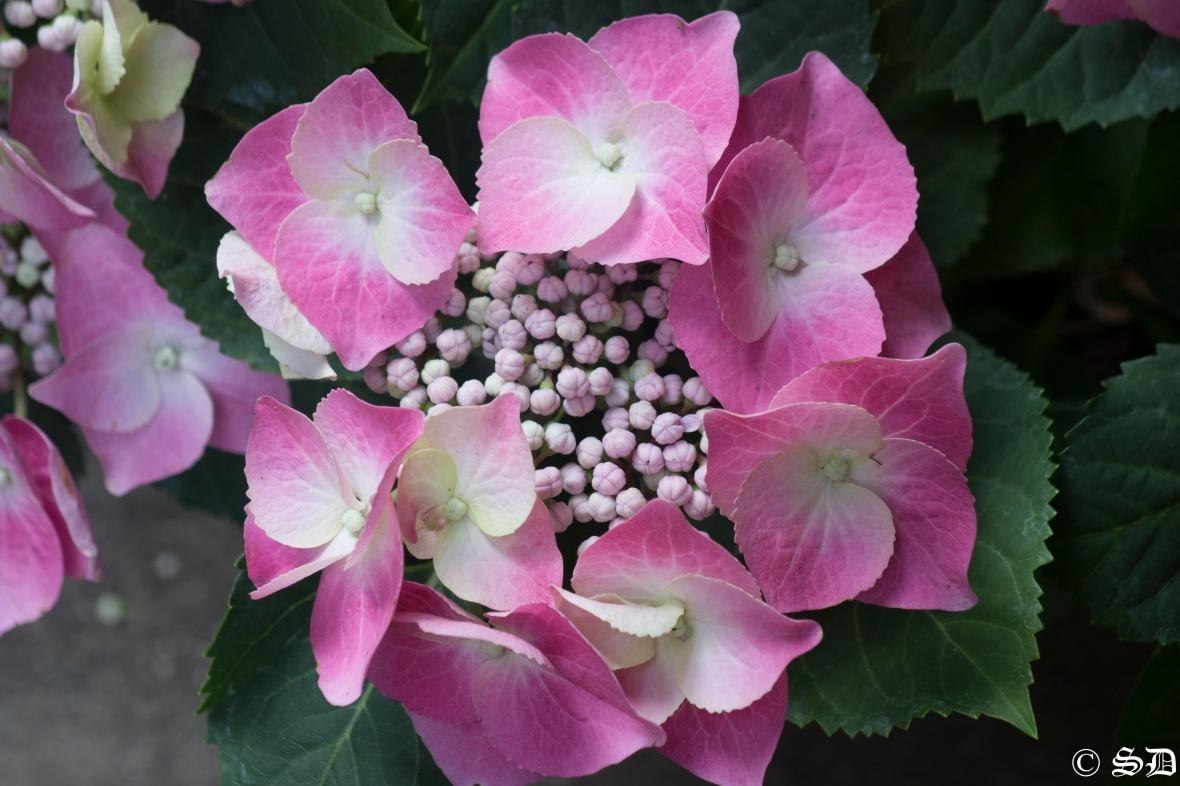 Pink & White Hydrangea Cluster