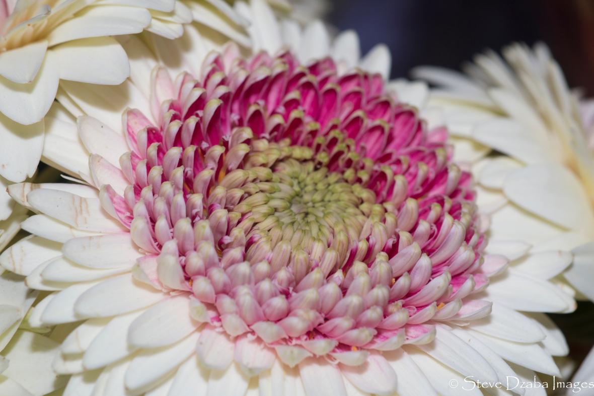 Dark Pink Eyed White Gerbera Daisy