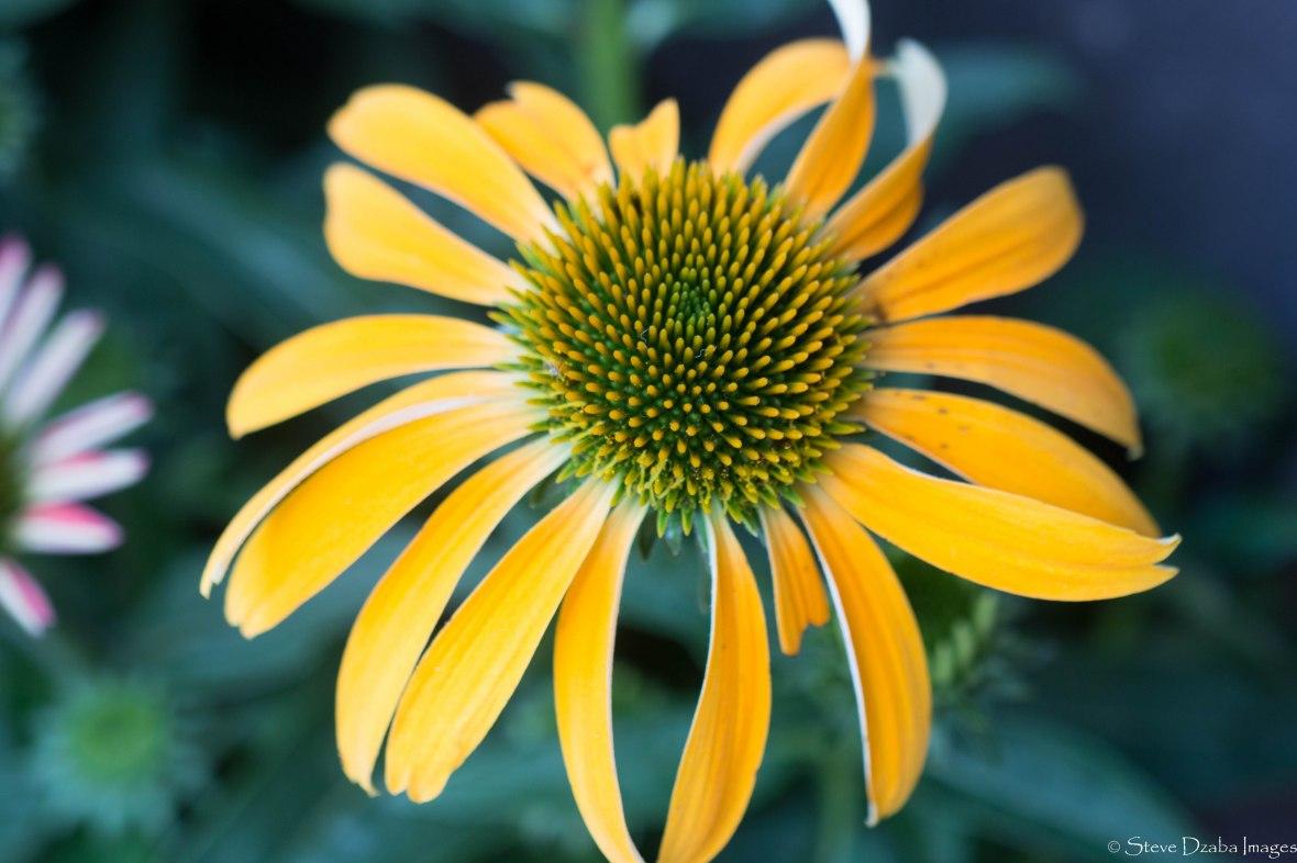 Golden Yellow Rudbeckia
