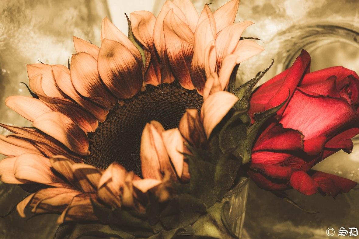 Floral Portrait Series: Sunflower & The Rose Hazy Dream