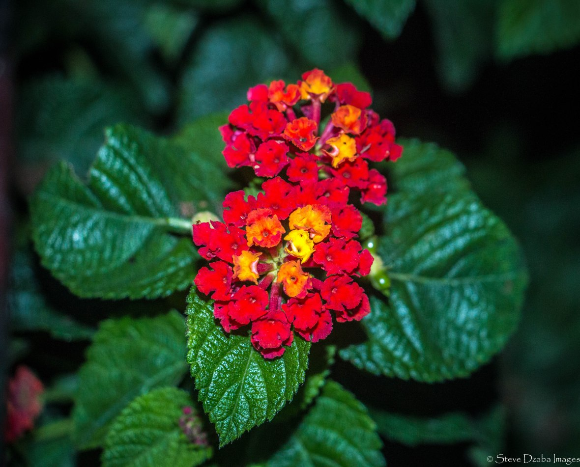 Floral Portrait Series: The Lantana Flowers II