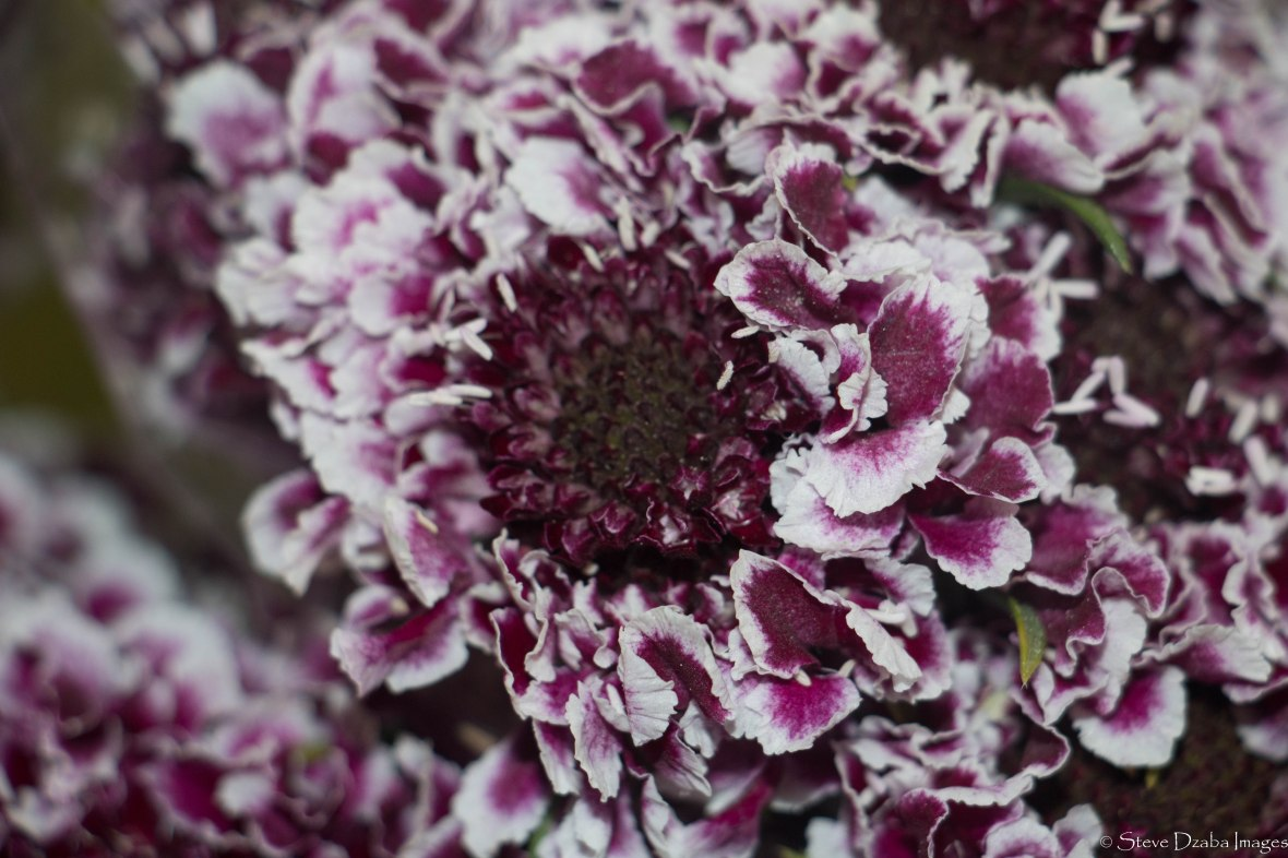 Floral Portrait Series: Deep Purple & White Scabiosas
