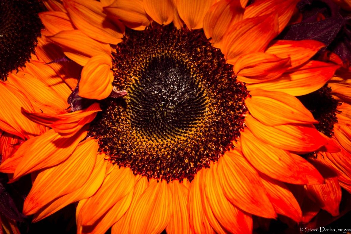 orange-flame-sunflower