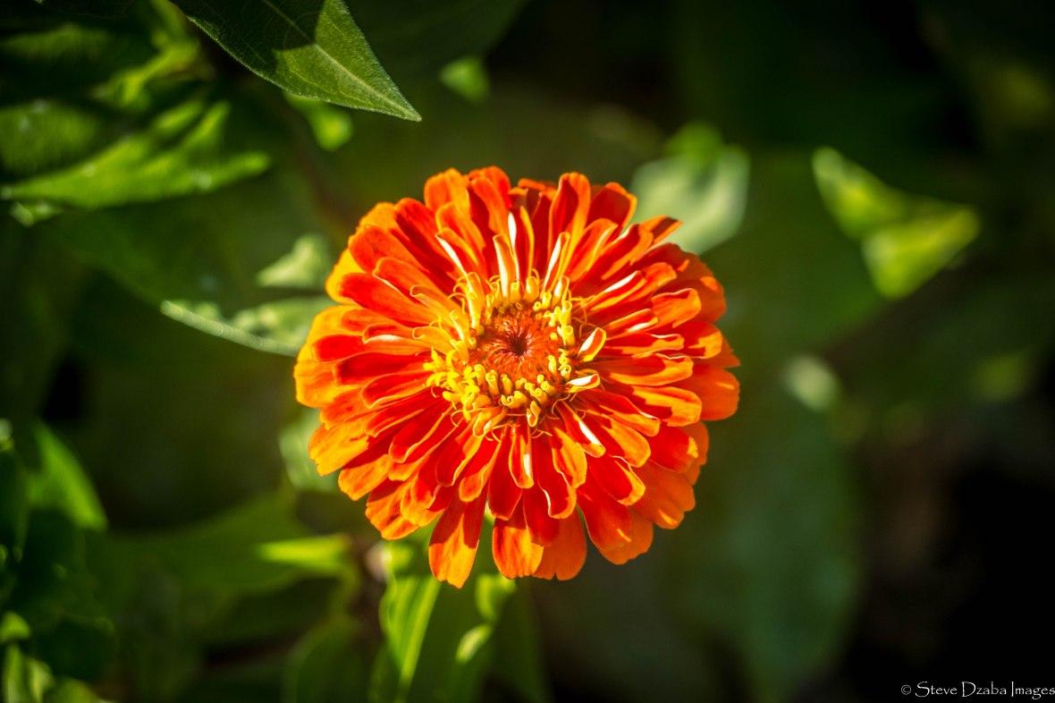 The Orange Zinnia Flower