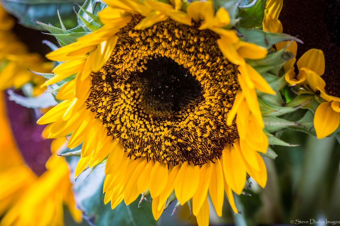 The Pollen Rich Sunflower's Face