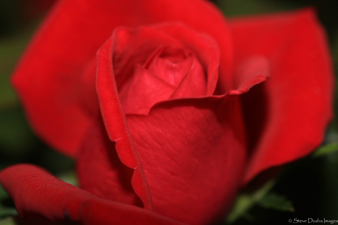 rose-red-macro-iii